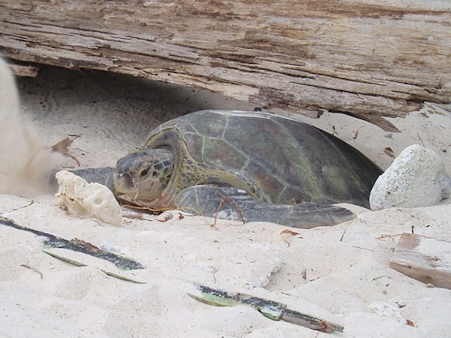 Green sea turtle nesting in Redang Island. Image from Wikipedia.